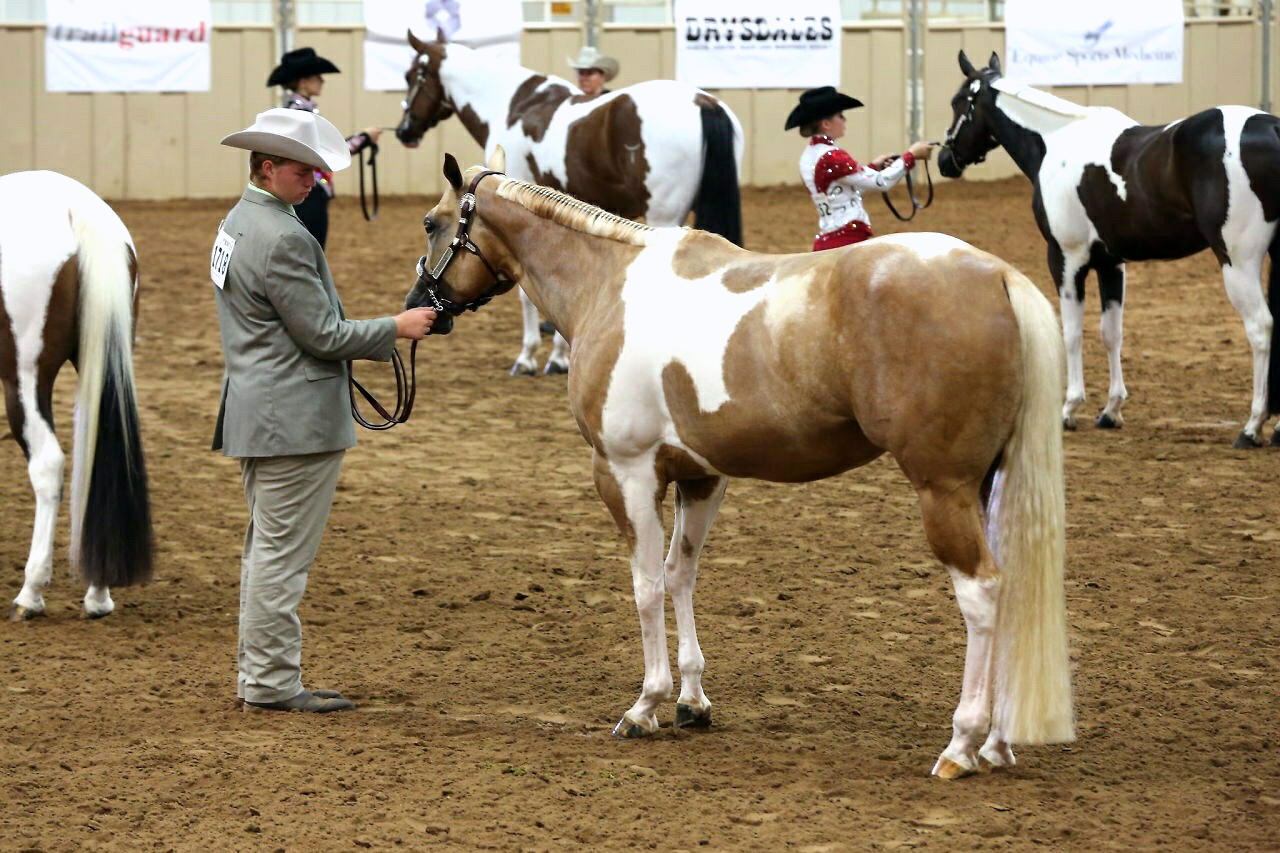 Pinto World: a 'homebred' championship