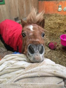 Heaven, a pony who was rescued from the fires in Gatlinburg, Tenn., suffered singing on her body, swelling on her face and injury to her eyes. She was taken in by Autumn Hardcastle, of Sevierville, Tenn., a founding member of SEARU. (Photo contributed)